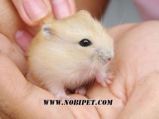 Chuột Hamster Whinter White