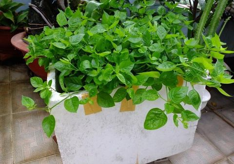 Kỹ thuật trồng rau sạch tại nhà đơn giản trong chậu xốp