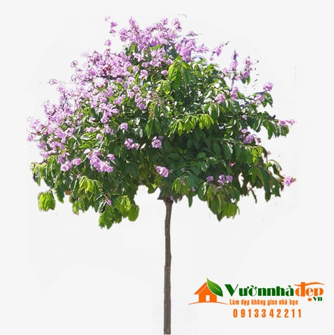 Bằng lăng - Lagerstroemia speciosa