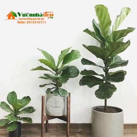 Bàng singapore thích hợp trồng cây trong nhà