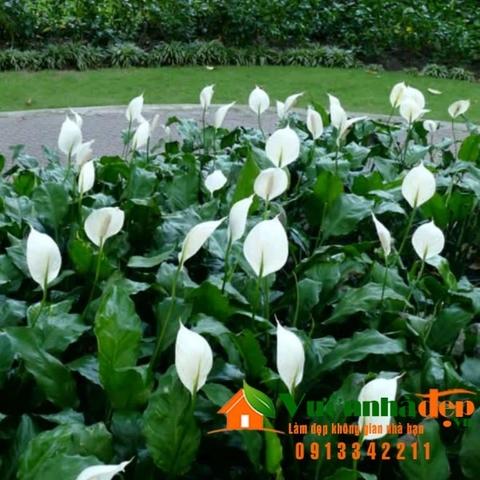 Buồm trắng, lan ý -Spathiphyllum wallisii