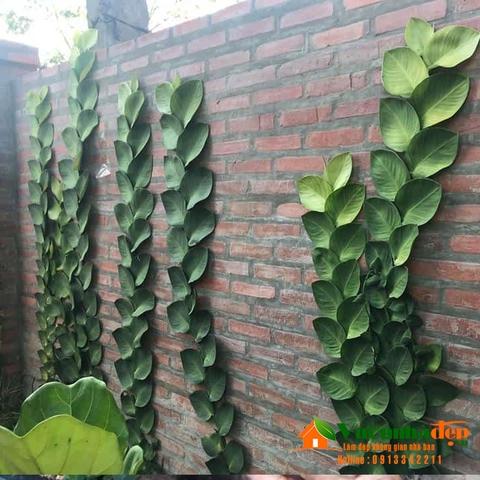 Thằn lằn bám tường lá lớn