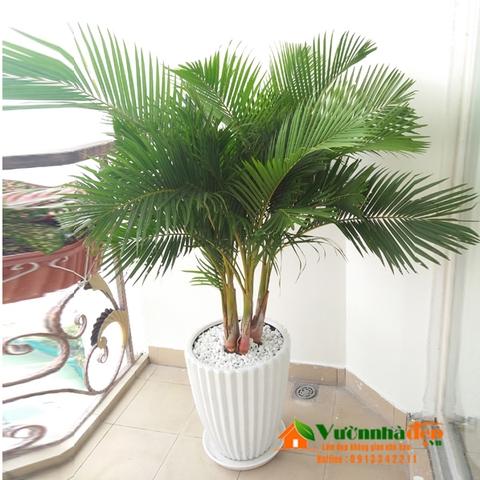 Cây cau Nhật thích hợp trồng cây trong nhà