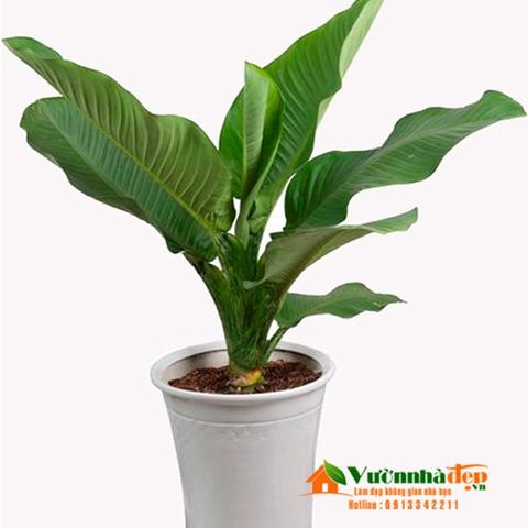 Cây đại phú gia thích hợp trồng cây trong nhà