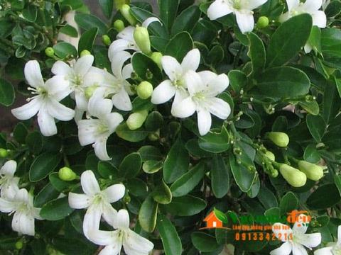 Nguyệt quế - Murraya paniculata