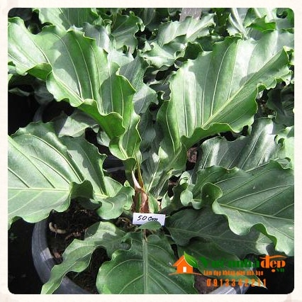 Trầu bà lá xoắn - Anthurium plowmanii