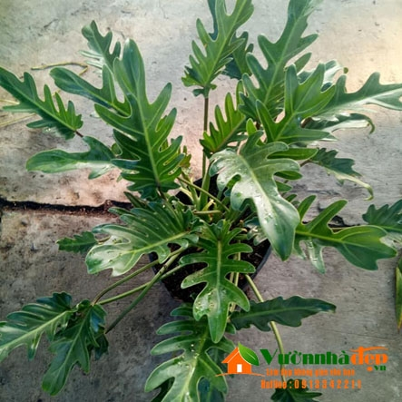 Trầu bà khía - Philodendron xanadu