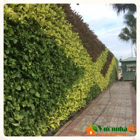 Thi công tường cây Jamona Golden Silk