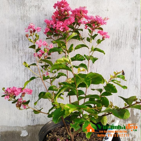 Tường vi - Lagerstroemia indica