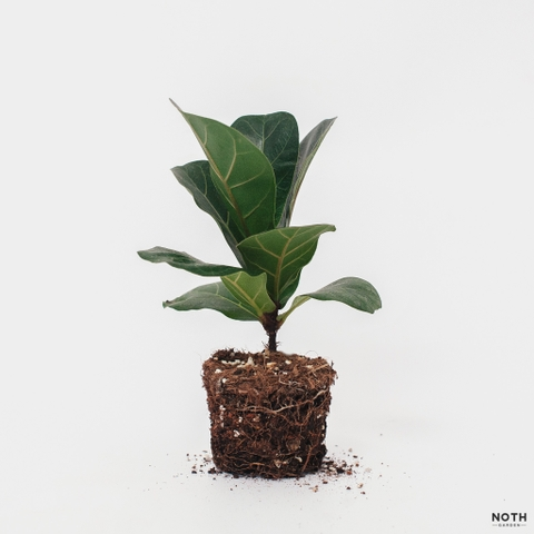 Baby Fiddle-leaf Fig (Sung lá đàn)