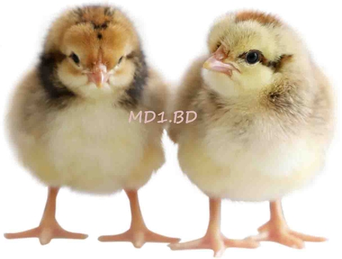 MD1.BĐ ONE-DAY-OLD CHICKS