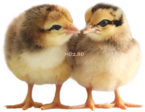 MD2.BĐ ONE-DAY-OLD CHICKS