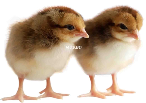 MD3.BĐ ONE-DAY-OLD CHICKS