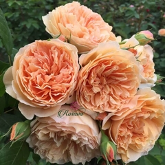 Hoa hồng leo Crown Princess Margareta rose